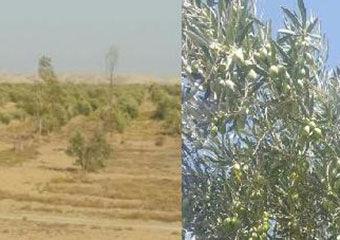 گزارشی از کشت زیتون در روستای کرند گنبد کاووس+تصاویر