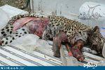 شکارچی پلنگ در گالیکش دستگیر شد + تصاویر