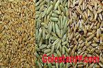 بذر های گندم آماده توزیع در گلستان