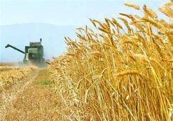 نرخ خرید تضمینی گندم در استان گلستان ۱۱۵۵ تومان اعلام شد