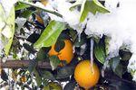 تمامی مرکبات بندر گز بر اثر سرمازدگی دچار خسارت شد