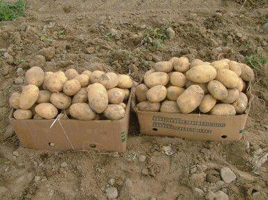 چهار هزار و600هکتار از اراضی گلستان زیر کشت سیب زمینی رفت