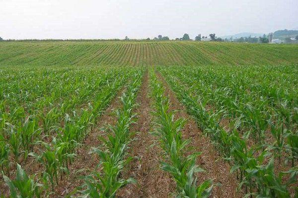 کشت دیم گیاهان دارویی در استان گلستان