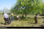 آغاز برداشت گردو در باغات شهرستان رامیان+ تصاویر