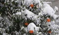 سرمایی که تن باغداران گلستانی را میلرزاند